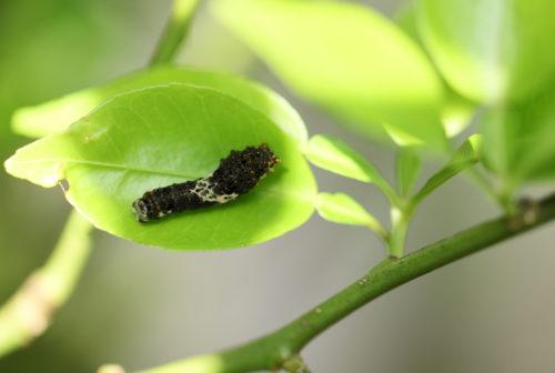 スダチの葉にいるアゲハ蝶の幼虫