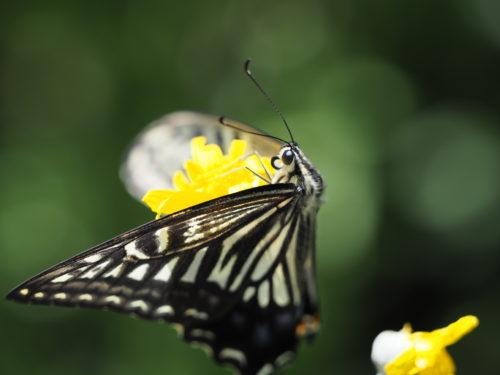 花の蜜を吸うアゲハ蝶